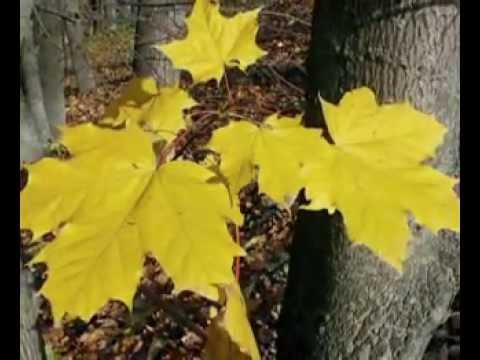 Как нарисовать листья Рисунок листа клена поэтапно