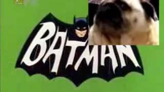 Pug dog BATMAN theme tune!
