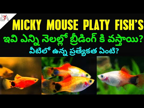 #platyfish#mickymouseplaty#platyfish GROWING OUT SIDE MY MICKEY MOUSE PLATY BABYS