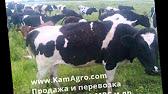 Коровы на дорогах - YouTube