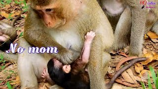 Poor baby monkey Toni cry hungry milk much-Why mom Tara always push Toni out milk like this