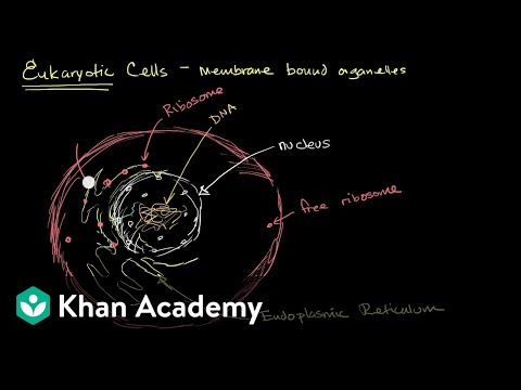 Organelles in eukaryotic cells