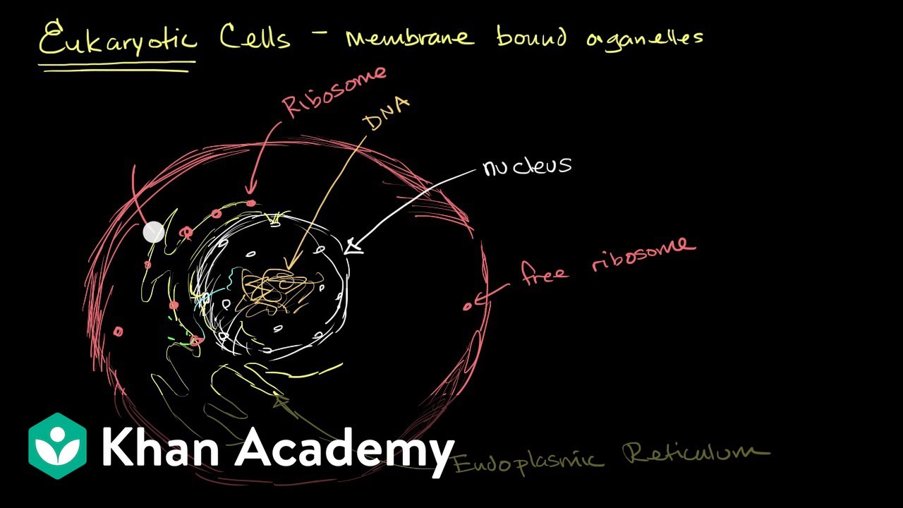 hight resolution of Organelles in eukaryotic cells (video)   Khan Academy