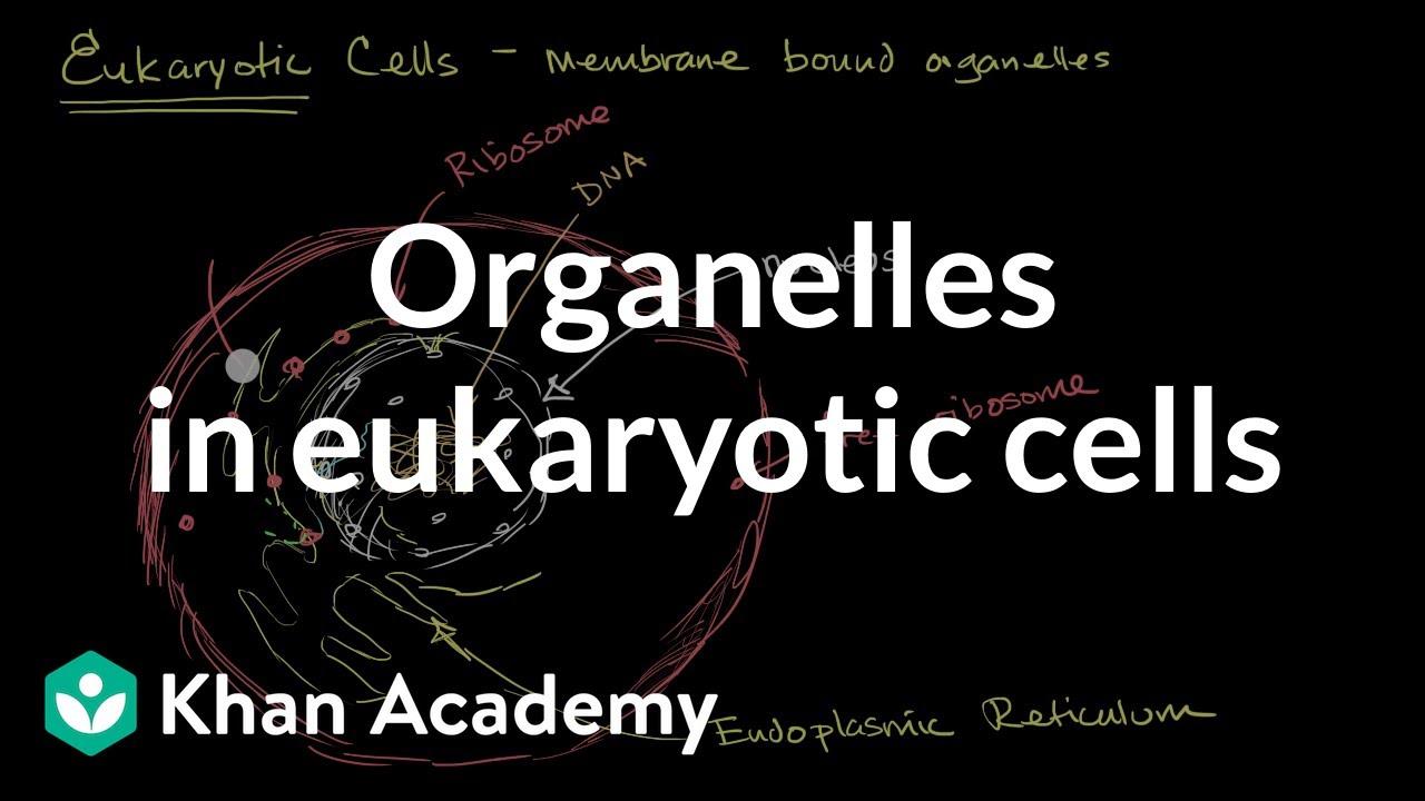 medium resolution of Organelles in eukaryotic cells (video)   Khan Academy