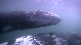 Pierce Brosnan: Save the Gray Whale Nursery in Baja Mexico - NRDC