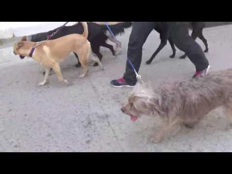 Dog Walking NYC East Village 2 Hour Group Walks The K- 9 Club