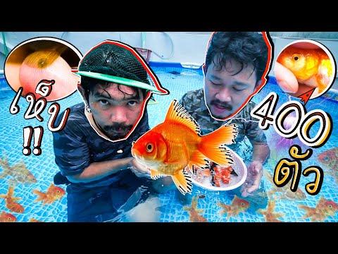 ปล่อยปลาทอง 400 ตัว ลงสระว่ายน้ำ  เจอเห็บปลาด้วย..!!
