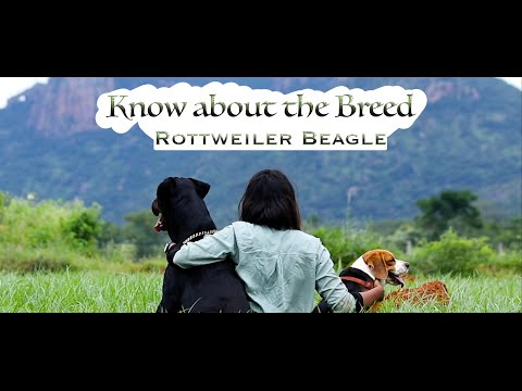 know-about-the-breed---rottweiler-beagle.-#rottweiler-#beagle-#pet-#dog