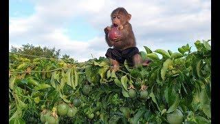 Baby Monkey   Monkey Doo Climbs And Eats Passion Fruits Comfortably At The Farm