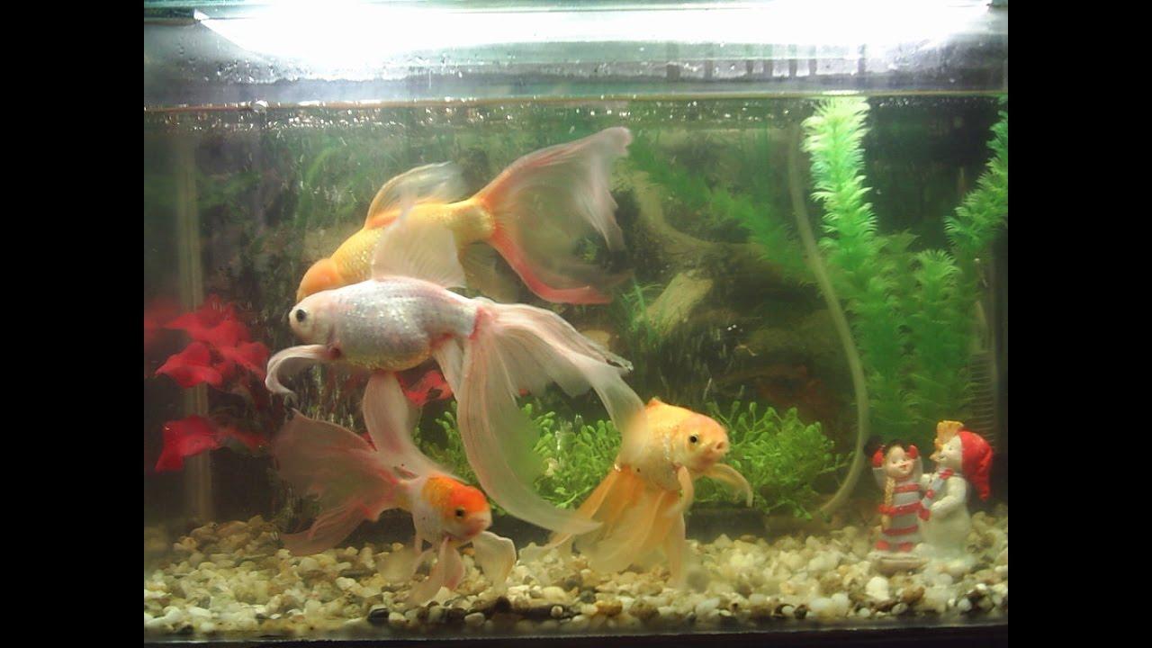Caracter sticas de los peces bailarinas y goldfish for Peces de pecera