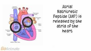 Anatomy and Physiology: Endocrine System: Atrial Natriuretic Peptide (ANP) V2.0