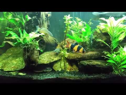 Striped Raphael Catfish In My Gourami Tank