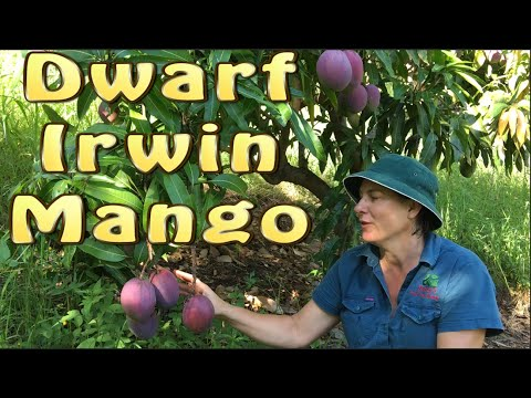 Dwarf Irwin Mango Fruit Tree - After 20 years this Purple Mango is half the size of other Bowens