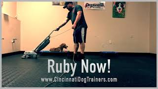 6 Month Old Sheepadoodle Ruby's Amazing Transformation at Cincinnati Dog Trainers Off Leash K9