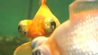 Домашний питомец (выпуск 40)( Маленький аквариум. Модный приГАВор) (РИА Биробиджан)