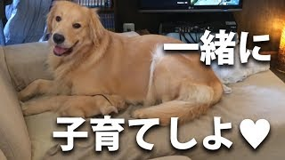 飼い主の側に仔犬を連れてきてしまうゴールデンレトリバー:mother dog bring puppy me