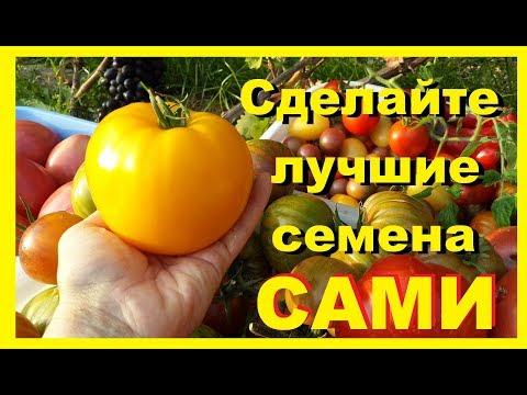 Собираем семена с томатов. Оранжевый слон Минусинский. Домашнее сердце Гонсиоровских.