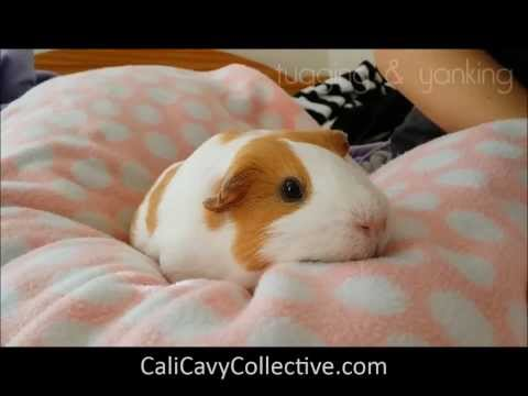 Guinea Pig Behavior: Bring Me Home