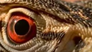 Lizards, snakes and poisonous animals roaming the deserts of Australia - BBC wildlife