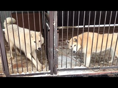 Волчица ФУРИЯ охотится на лаек, Волэнд Алита нападает на волка АКЕЛУ.