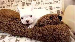 フレンチブルドッグ:French Bulldog クリーム 女の子 2014.12.15生れ.