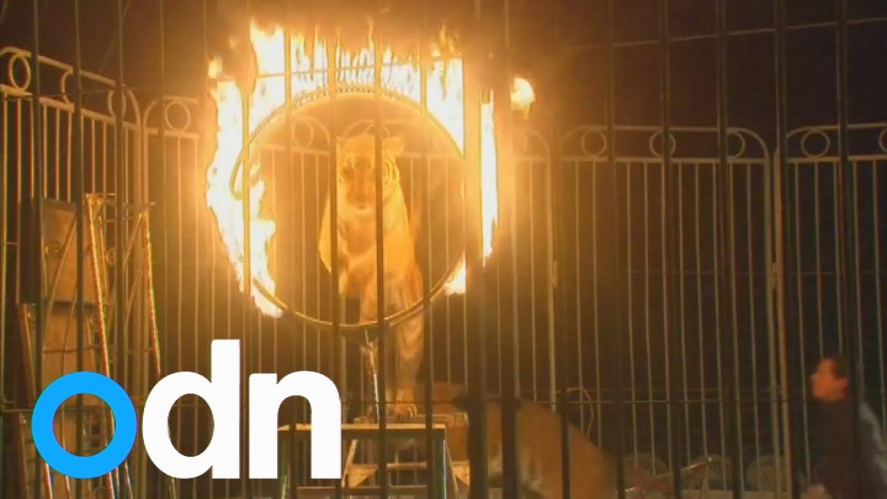 circus wild animal ban in mexico youtube