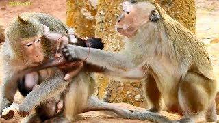 Greedy kidnapper seizes two newborns in one, mom attempts to grab baby back, so amazing monkey!