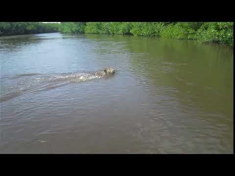 Jaguar nadando en río de Marismas Nacionales Nayarit