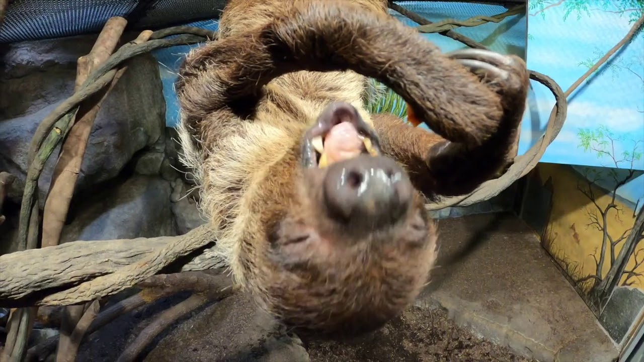 Josie The Sloth Hangs Out, Takes It Slow, Cronches Snacks