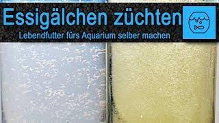 Essigälchen züchten und verfüttern – Lebendfutter selber machen – Fischfutter – einfach – billig