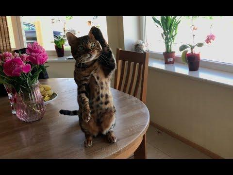 Bengal cat waving trick