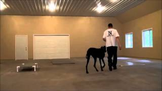 Gunner (great Dane) Dog Training Boot Camp Video Minnesota