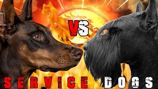 Doberman vs Giant Schnauzer | Giant Schnauzer vs Doberman | Powerful Guard Dog? | Billa Boyka |