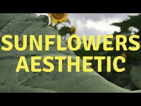 Sunflowers Aesthetic Video Youtube