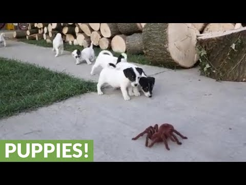 Jack Russell puppies take on huge robotic spider