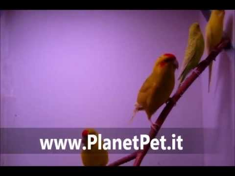 Kakariki – www.PlanetPet.it