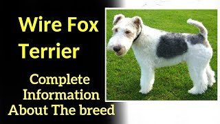 Wire Fox Terrier. Pros and Cons, Price, How to choose, Facts, Care, History