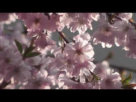 Футаж природа-hd-цветок-растений