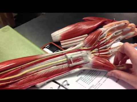 Arm Model Nerves Youtube