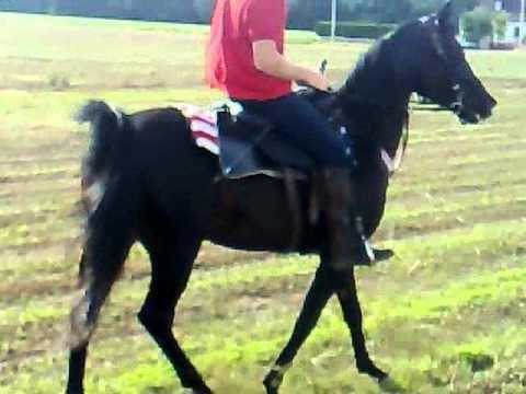 cheval arabe noir