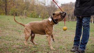 Staffordshire Terrier And Malinois Playing With Training Rubber Ball On String
