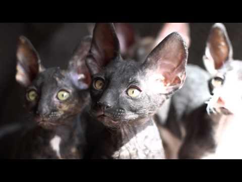 GB*My Little cornish rex kittens (10 weeks old)