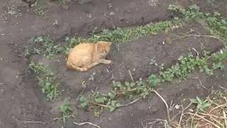 Кот на огуречной грядке
