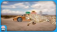 Die 10 schnellsten Tiere der Welt - Boden-Version