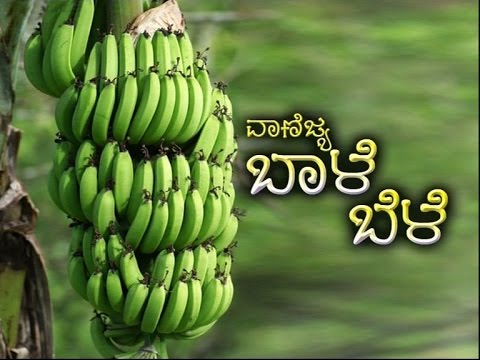Commercial Cultivation of Banana - Kannada