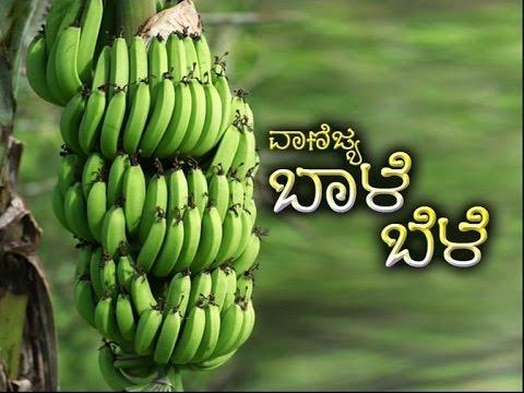 Commercial Cultivation Of Banana Kannada Youtube
