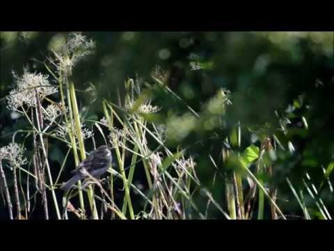 """Sparrows in Garden with """"Namo Di Zhang Wang Pusa"""" chant"""