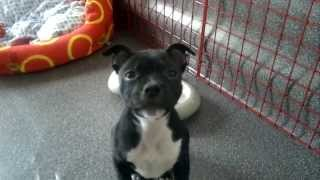 Abbaiare In Maniera Feroce! Staffordshire Bull Terrier - Aggressive Staffy Puppy Barking