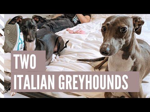 Life With 2 Italian Greyhounds 2019 | NYC VLOG 3