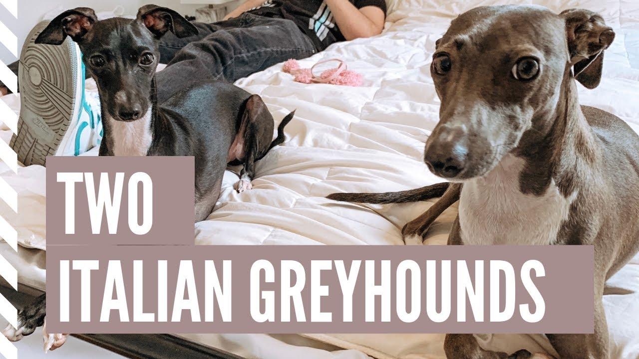 Life With 2 Italian Greyhounds 2019   NYC VLOG 3 - YouTube